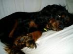 Cavalier King Charles Spaniel Puppy Thumbnail